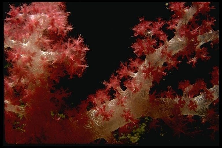 Anthozoa. צילום: 2001 California Academy of Sciences