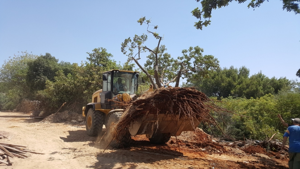 Boissier Oak relocation,  photo: Kineret Manevich