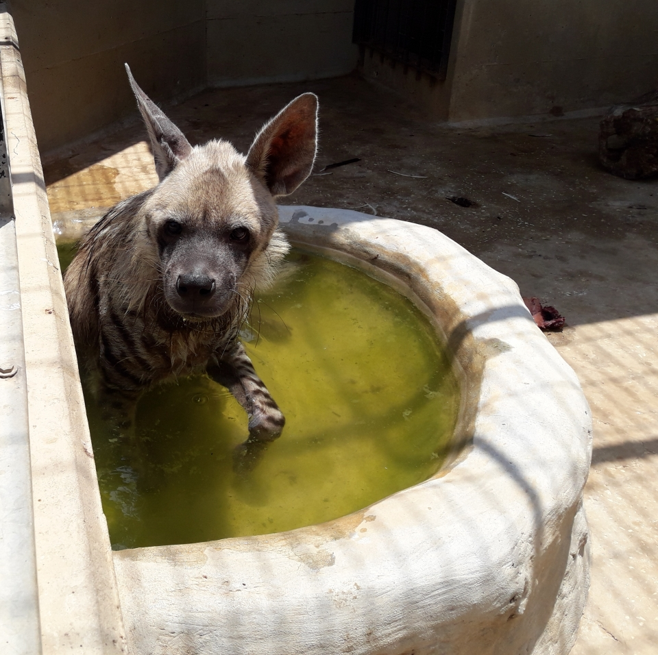 Our hyena enjoying  his bath, Photo: Ron Elazari-Volcani