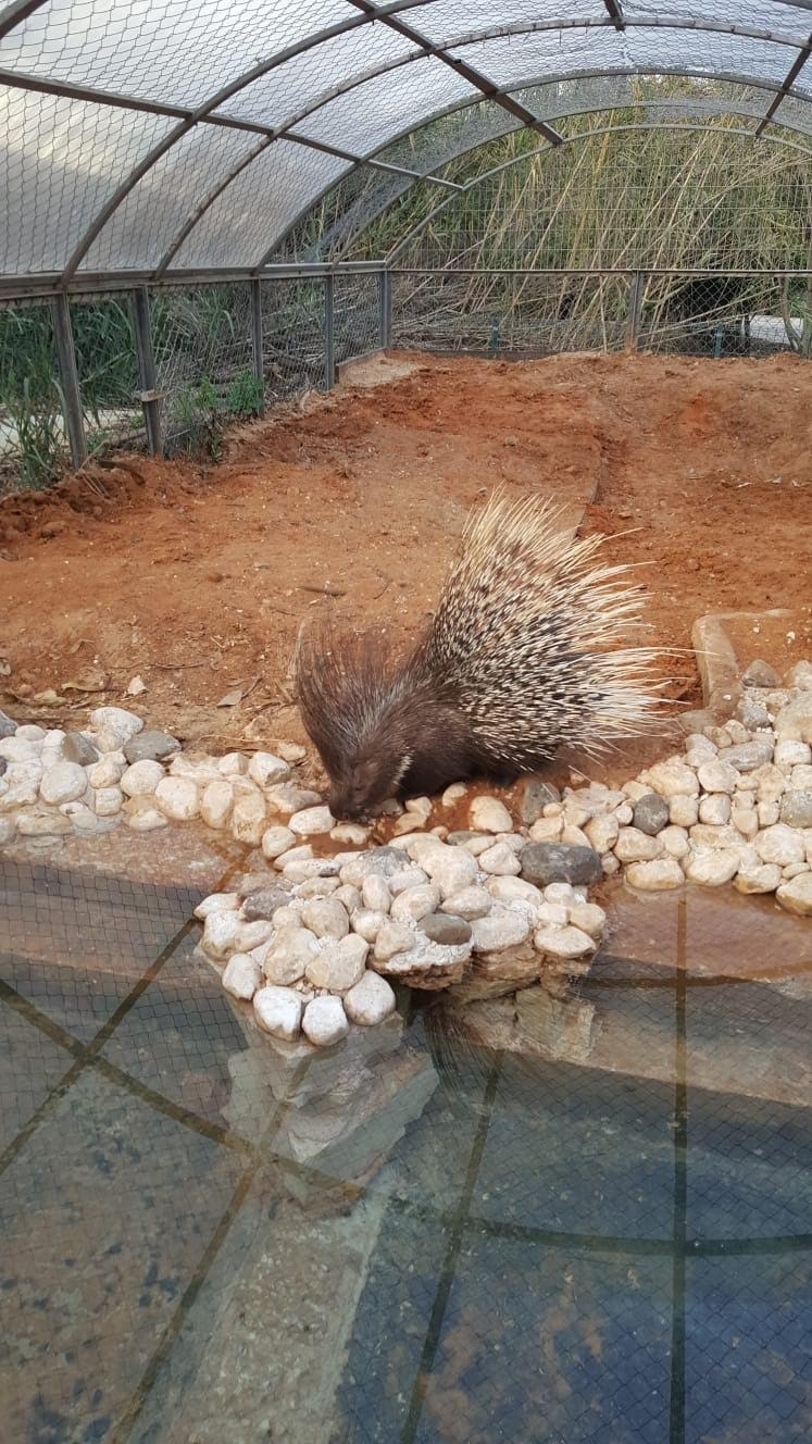 One of the porcupines in the renovated exhibition, photo: Ron Elazari-Volcani