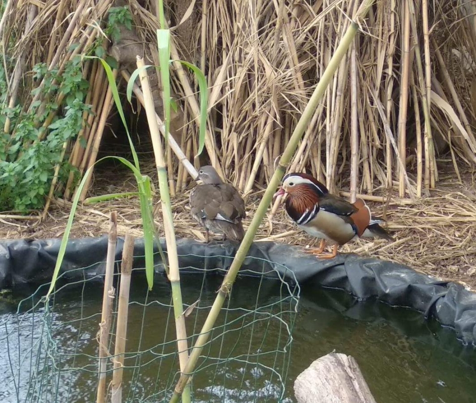 A pair of Mandarin ducks, photo: Hadar Yosifon
