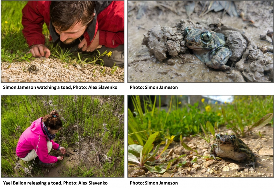 Releasing spadefoot toads back to nature