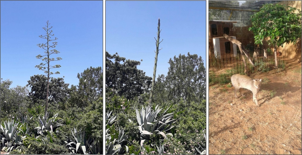 "Left: The Agave florescence stem in different stages of development , Photo: Ron Elazari-Volcani; Right: Our jungle cats in their new home, Photo: courtesy of ""Gan Hai"", Ra'anana Park"