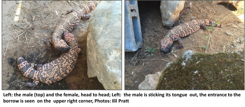 A couple of Gila monsters, Photos: Ilil Pratt