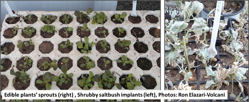 Edible plants' sprouts and Shrubby saltbush implants , Photos: Ron Elazari-Volcani