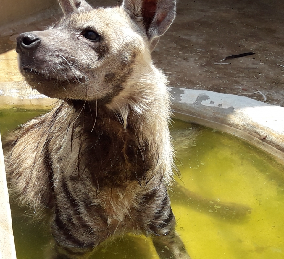 Hyena in water
