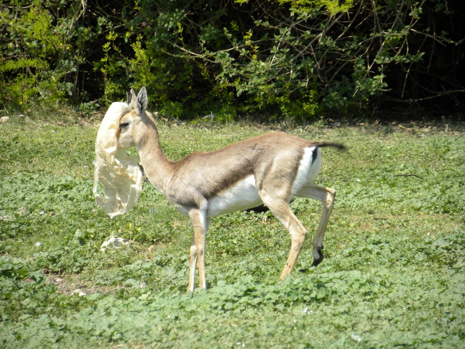 A female gazelle with a plastic bag, photo: Ron Elazari-Volcani