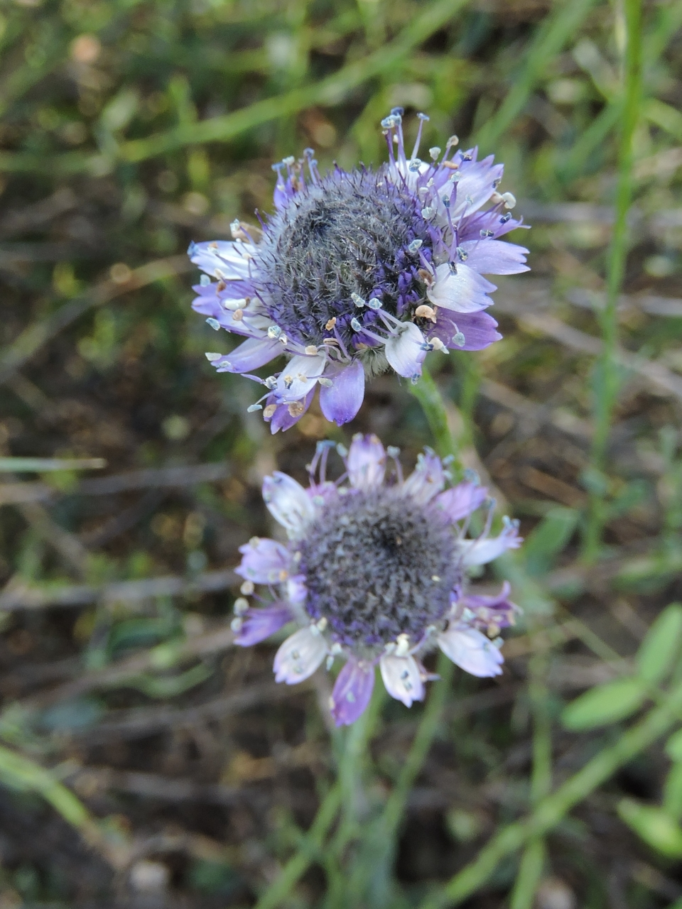 Globularia Arabica, Photo: Yael Orgad
