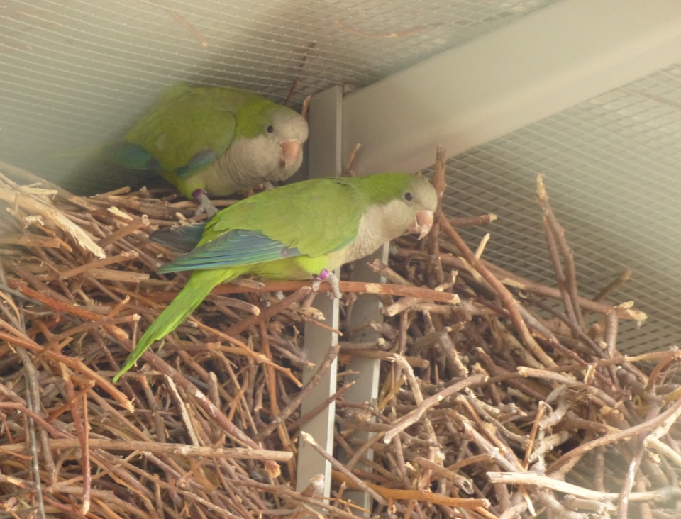 Monk parakeets nesting, photo: Ron Elazari-Volcani