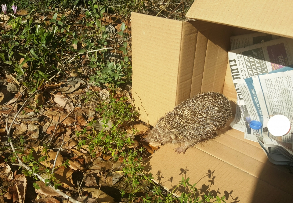 The hedgehog released into the Garden, photo: Kineret Manevich