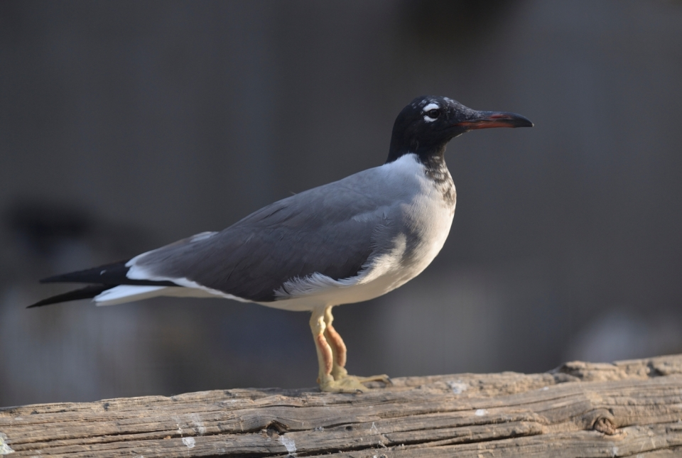 White-eyed gull, photo: Oz Rittner