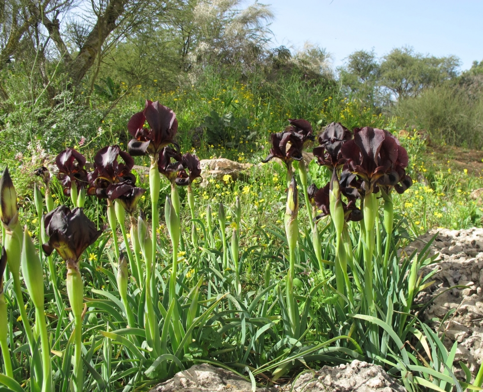 Iris atropurpurea, photo: Yuval Sapir