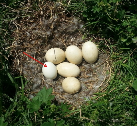 Grey goose nest with an alien egg