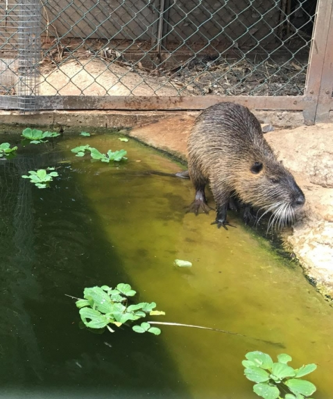 Our coypu, photo: Noga Kronfeld-Schor