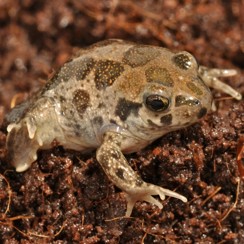 Syrian spadefoot toad, photo: Oz Rittner