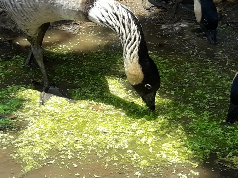 A nene goose feeds on duckweed