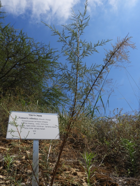 The Nile tamarisk in the salt  marsh plot, photo: Yael Orgad