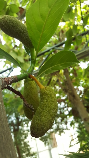 Jackfruit tree , photo: Gavri Sion